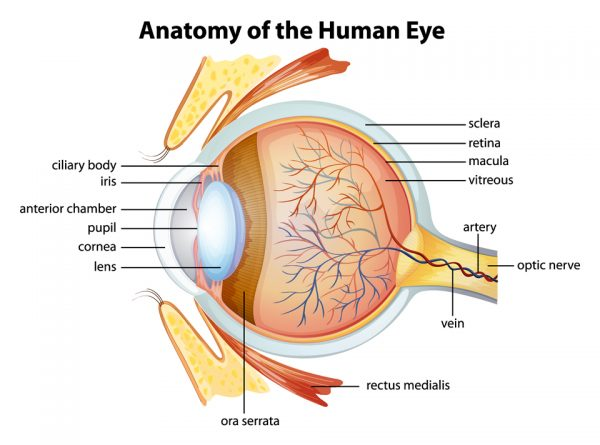 what is macula simply